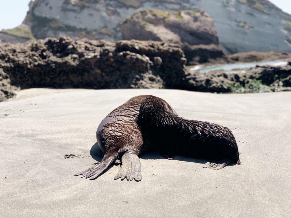 Baby Seals Wharariki Beach