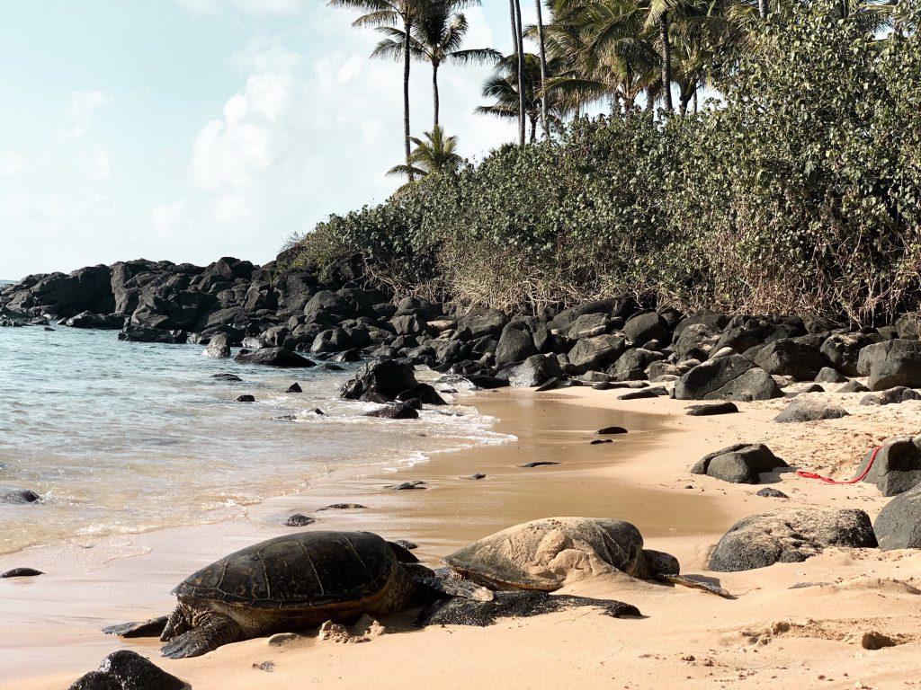 Turtle spotting Laniakea Beach