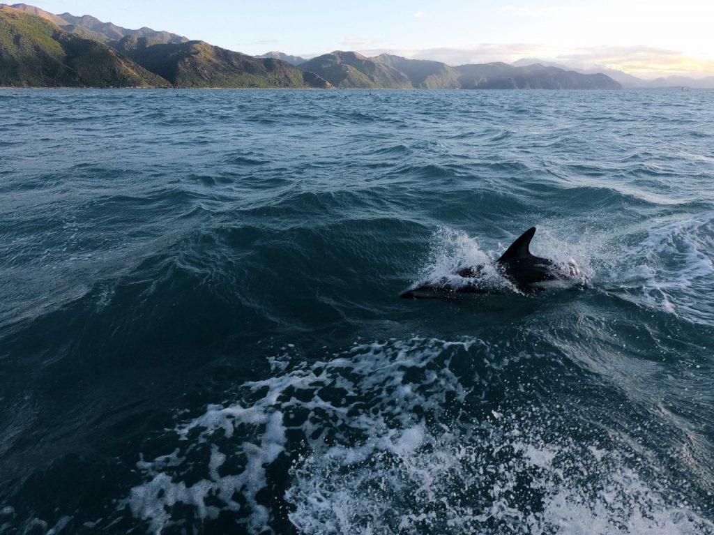 Kaikoura dusky dolphin