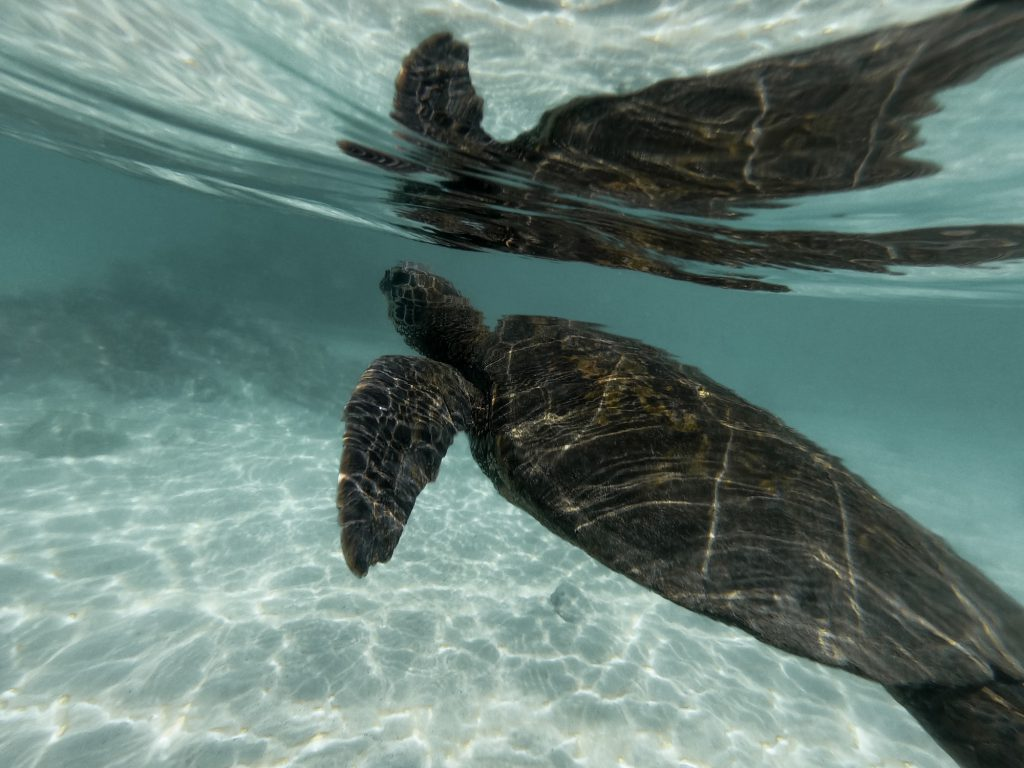 Guide to swimming with turtles in Hawaii