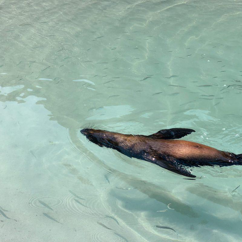 Wharariki Beach baby seal swim