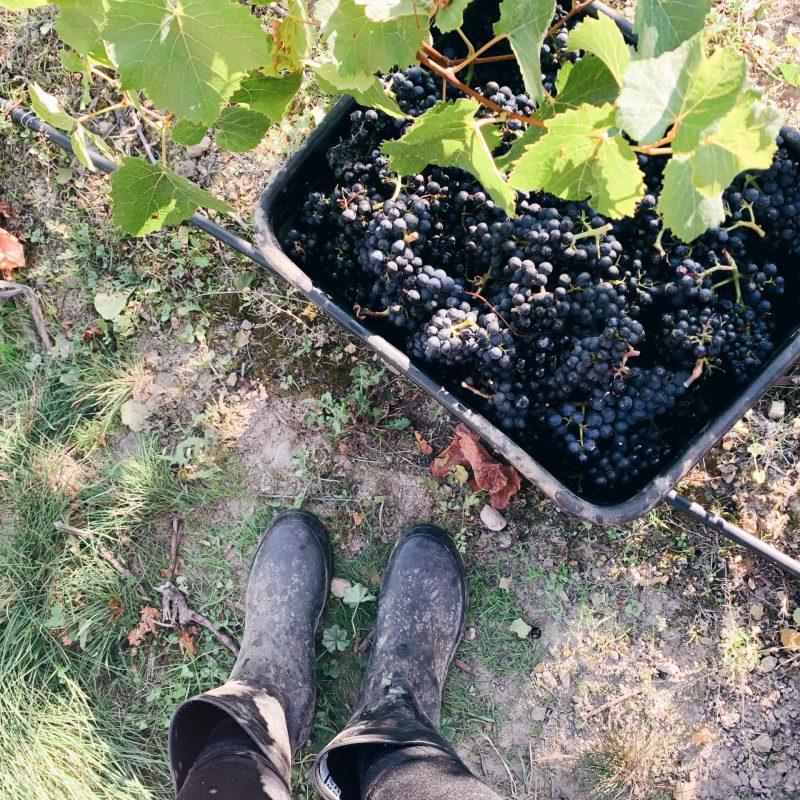 Grape picking New Zealand