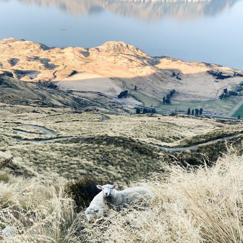 Roys peak sheep